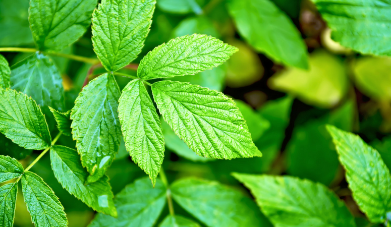 Benefits of red raspberry leaf tea