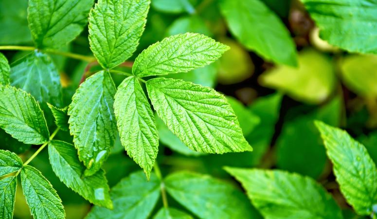 benefits-red-raspberry-leaf-tea