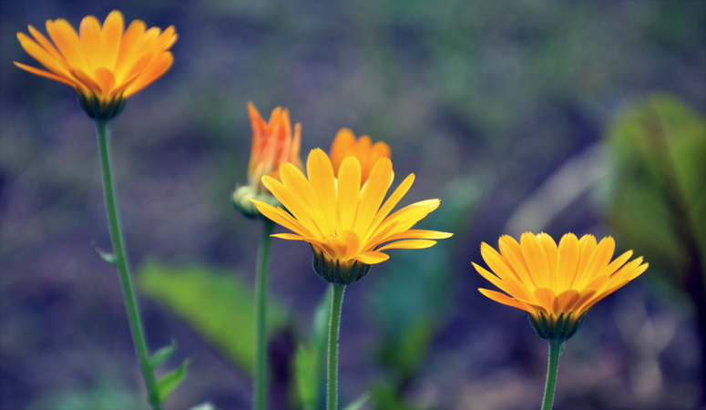 Calendula benefits