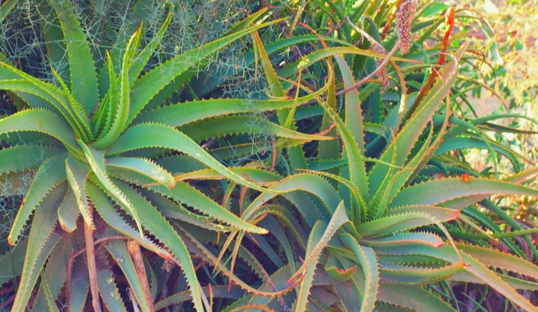 Gut Healing Herbal Tea Aloe