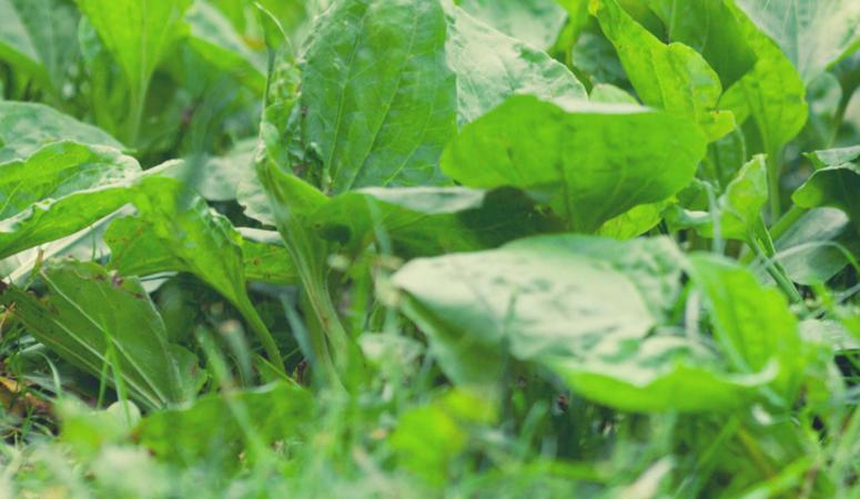 Gut healing herbal teas plantain