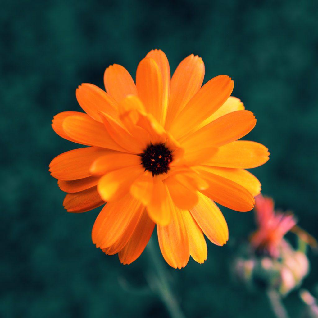 calendula-herb-profile